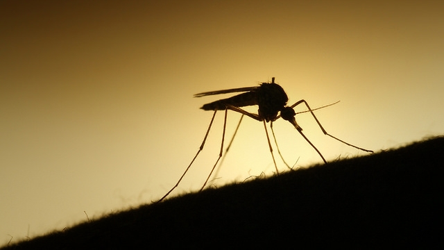 Mygg / Mosquito by Erik F. Brandsborg