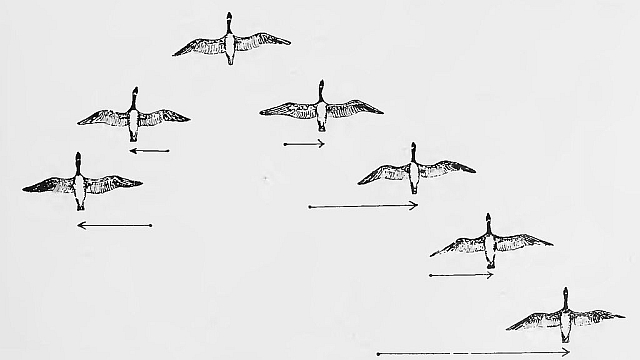 Echelon flock formation by C.C. Trowbridge