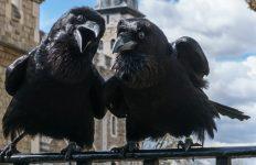Jubilee and Munin, Ravens, Tower of London