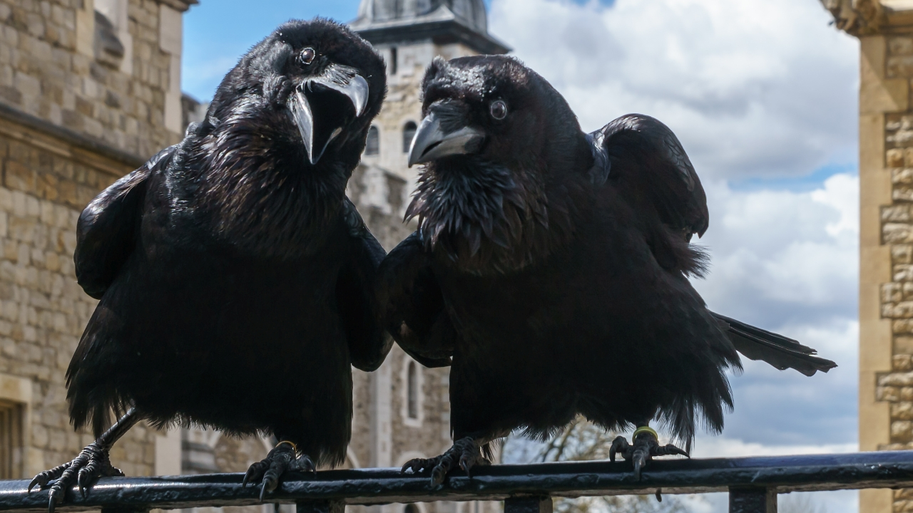 Jubilee and Munin, Ravens, Tower of London