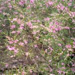 Boronia splendida
