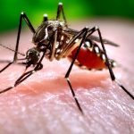 Close-up of a mosquito feeding on blood